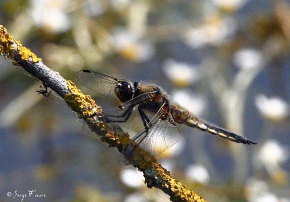 Libellule à quatre taches (Libellula quadrimaculata) mâle - Anisoptère - (Parc ornithologique du Marquenterre) Baie de Somme - Picardie - France