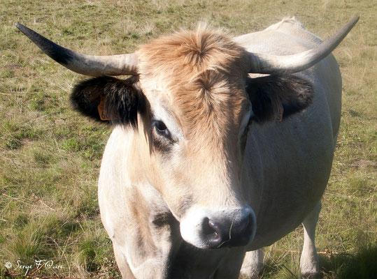"""Vache Aubrac sur les crêtes de la Margeride en arrivant à """"Le Sauvage"""" en Gévaudan - France"""
