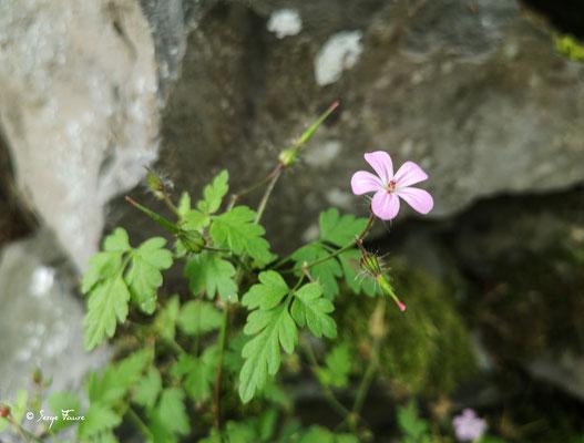 Géranium Herbe-à-Robert (Geranium robertanium (L.),