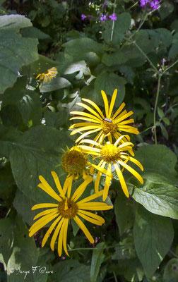 """Le doronic d'Autriche """"Tabac sauvage"""" (Doronicum austriacum) est une plante herbacée vivace de la famille des Asteraceae"""
