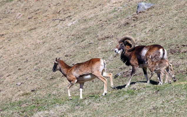 Mouflons au pied du Puy de Sancy - Le Mont Dore - Auvergne - France