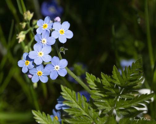 Myosotis sylvatica, communément appelé en français Myosotis des bois ou Myosotis des forêts, est une plante herbacée vivace de la famille des Boraginaceae (du genre Myosotis).