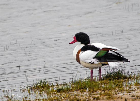 Tadorne de Belon (Tadorna tadorna) - Parc ornithologique du Marquenterre - St Quentin en Tourmon - Baie de Somme - Picardie - France