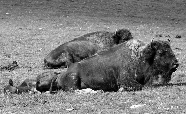 Femelle bisonne d'Amérique et son petit
