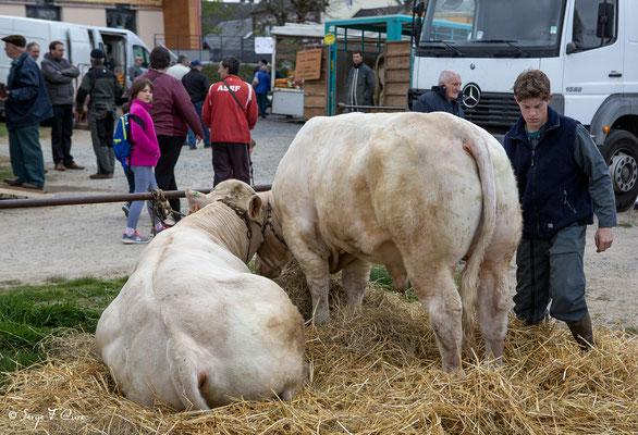 """""""Les vaches et l'homme"""" - Foire de Giat (2018) - Les Combrailles - Puy de Dôme - Auvergne - France"""