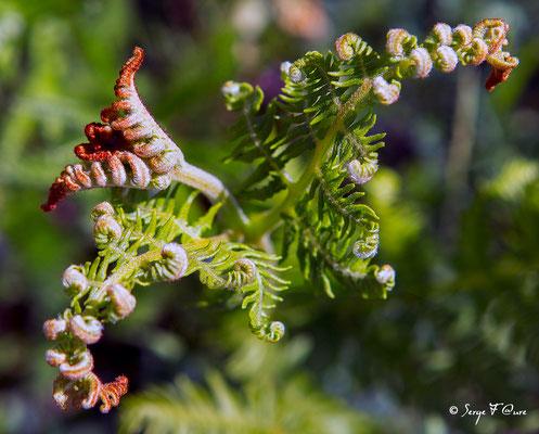 Jeune feuille de fougère (Filicophyta)