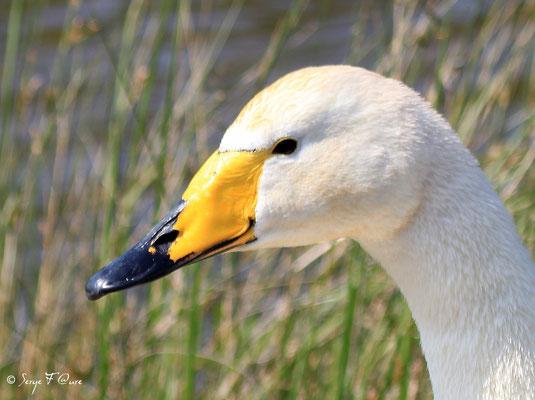 Cygne chanteur (Cygnus cygnus - Whooper Swan) - Parc ornithologique du Marquenterre - St Quentin en Tourmon - Baie de Somme - Picardie - France
