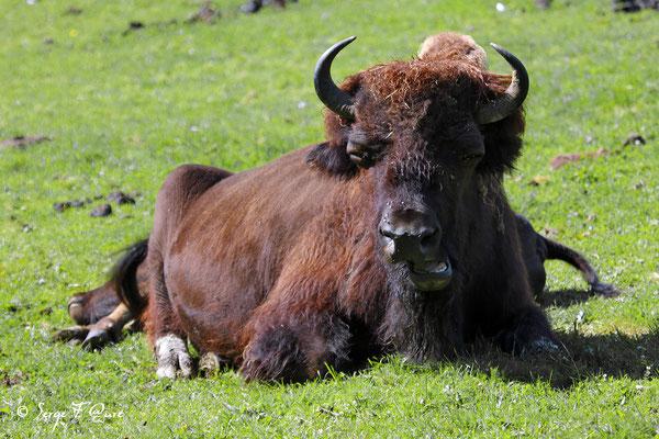 Femelle bisonne d'Amérique