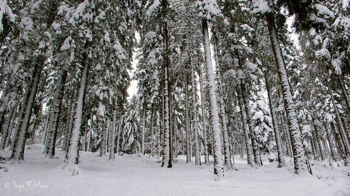 Forêt d'épicéa (Picea abies)