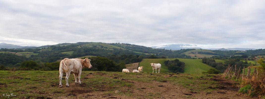 Vaches Gasconnes (Pyrénées) au pré (de Ostabat à St Jean Pied de Port) - France - Sur le chemin de Compostelle