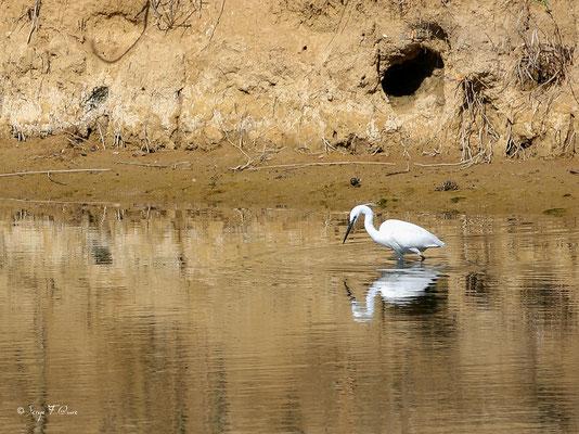 Grande aigrette - Ardea alba - Great Egret