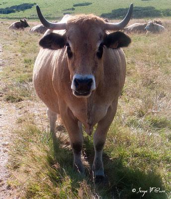 """Vache (race Aubrac) en arrivant à """"Le Sauvage"""" - France - Sur le chemin de St Jacques de Compostelle (santiago de compostela) - Le Chemin du Puy ou Via Podiensis (variante par Rocamadour)"""