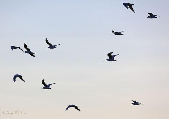 Vole de mouettes rieuses (Larus ridibundus) - Anciens marais salants à la Sansouïre (Frontignan - Hérault - France)