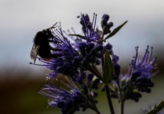 Bombus lapidarius, le bourdon des pierres ou bourdon lapidaire ou cul-brun, est une espèce d'insectes hyménoptères de la famille des Apidae (de Apis: abeille), du genre Bombus et du sous-genre Melanobombus.