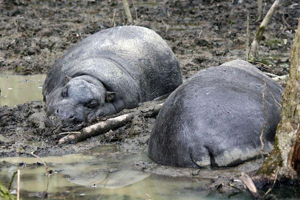 Hippopotames nains (Hexaprotodon liberiensis)