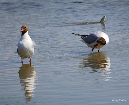 Mouettes rieuses ( Chroicocephalus ridibundus - Black-headed Gull) - Parc ornithologique du Marquenterre - St Quentin en Tourmon - Baie de Somme - Picardie - France
