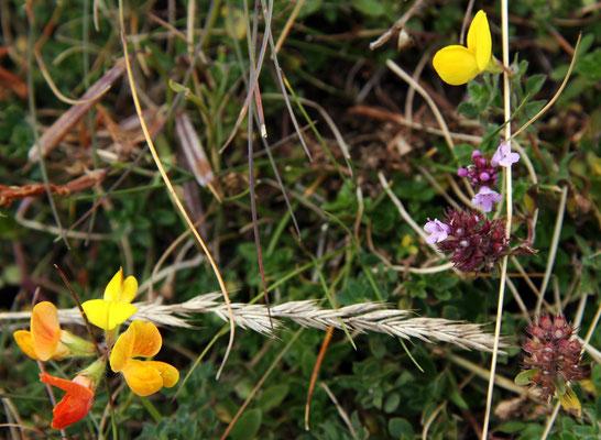 Lotier cornicule (Lotus corniculatus)