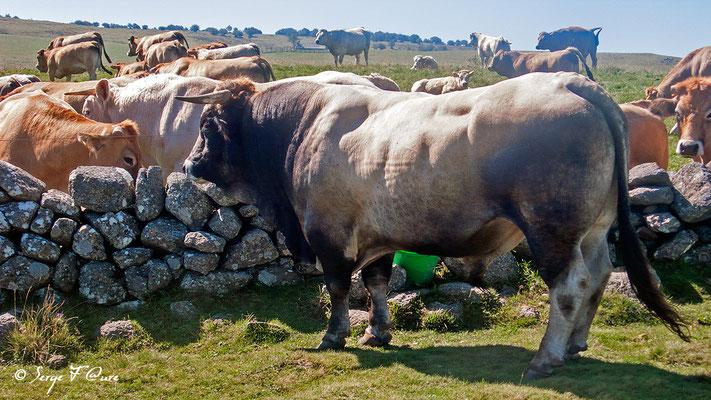 Un taureau à faire peur sur le plateau de l'Aubrac - En allant vers Aubrac - France - Sur le chemin de St Jacques de Compostelle (santiago de compostela) - Le Chemin du Puy ou Via Podiensis (variante par Rocamadour)