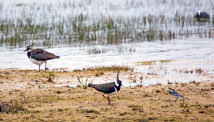 Vanneaux huppés et Bergeronnette grise (Vanellus vanellus - Northern Lapwing) et (Motacilla alba) - Parc ornithologique du Marquenterre - St Quentin en Tourmon - Baie de Somme - Picardie - France