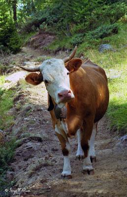 Vache Montbéliarde - Val d'Hérens - Le Valais - Suisse