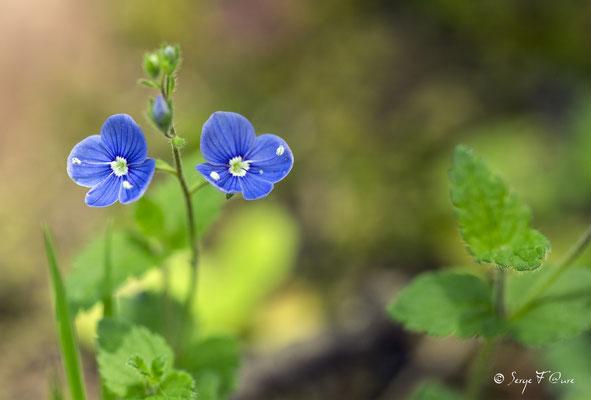 La Véronique petit-chêne (Veronica chamaedrys L.), est une petite plante à fleurs bleues appartenant au genre Veronica, fréquente dans les prés et les bois clairs, souvent en zones montagneuses. Elle est parfois appelée Fausse Germandrée (nom vernaculaire