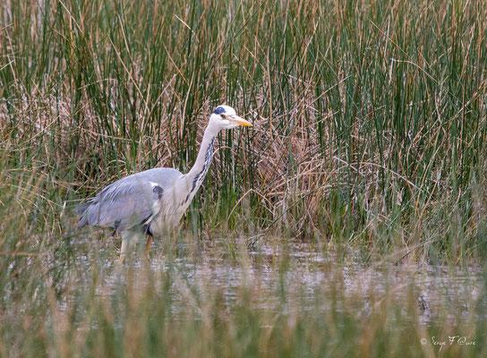 Héron cendré (Ardea cinerea - Grey Heron) - Parc ornithologique du Marquenterre - St Quentin en Tourmon - Baie de Somme - Picardie - France