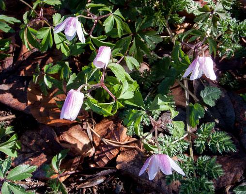 Anémone sylvie (Anémone nemorosa) - floraison avril