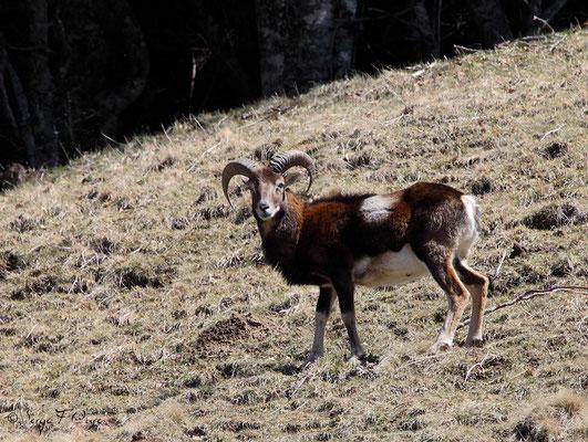 Mouflon mâle aux Egravats au pied du Sancy - Massif du Sancy - Auvergne - France