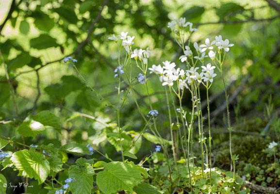 La Saxifrage granulée ou Saxifrage à bulbilles (Saxifraga granulata) est une plante herbacée vivace de la famille des Saxifragacées.