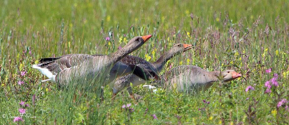 Oies cendrées (Anser anser - Greylag Goose) - Parc ornithologique du Marquenterre - St Quentin en Tourmon - Baie de Somme - Picardie - France