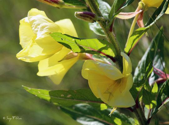 Enothère, primevère du soir (Oenothera biennis - evening primrose) - Parc ornithologique du Marquenterre - St Quentin en Tourmon - Baie de Somme - Picardie - France