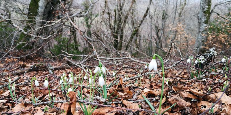 Galanthus nivalis - Les perces neige - Paillers - Massif du Sancy - Auvergne - France