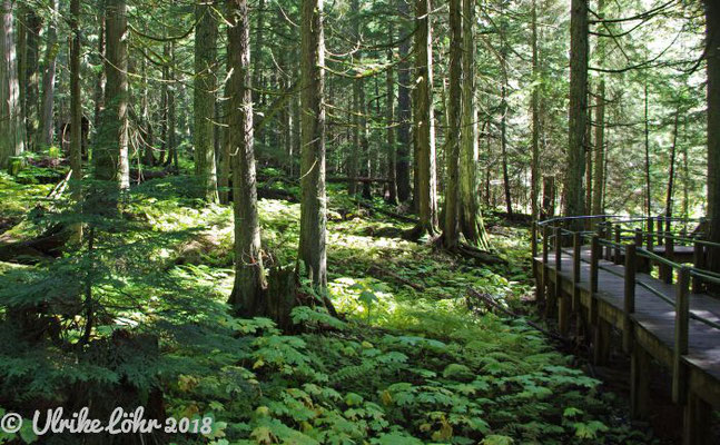 Kanada: Glacier Nationalpark - Hemlock Grove Boardwalk Trail