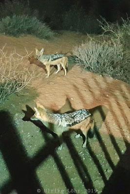 Schabrackenschakale im Kalahari Tent Camp