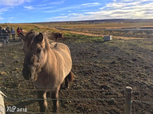 Island-Pony