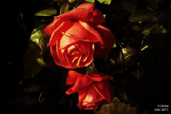 ... die letzten Rosen