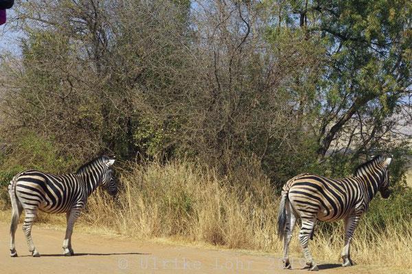 Pilanesberg Nationalpark Zebras
