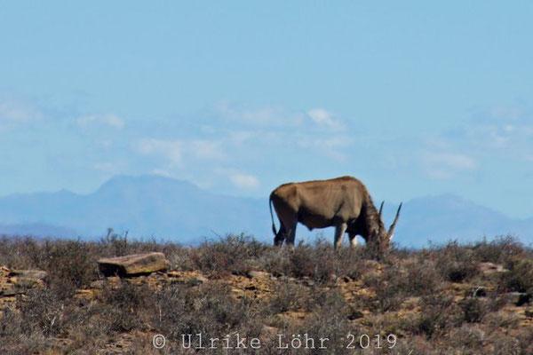 Elenantilope Karoo Nationalpark