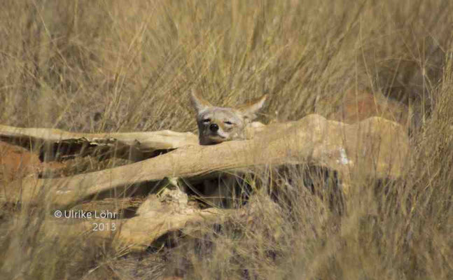versteckt hinter einem erlegten Eland
