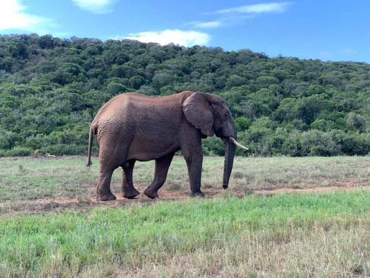 Elefant im Addo NP - (C) www.gindeslebens.com