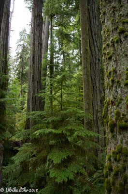 Cathedral Grove im MacMillan Provincial Park