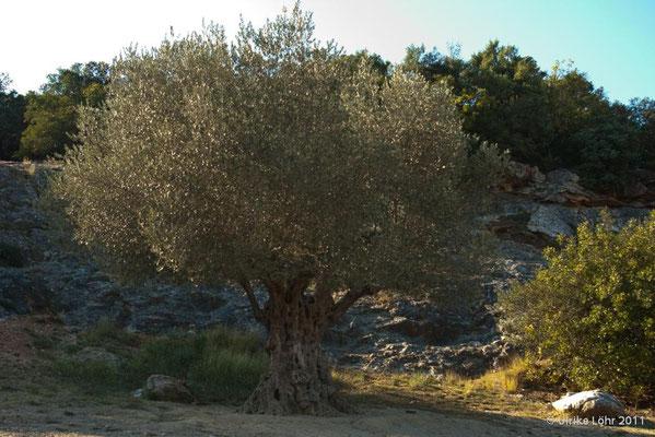 Olivenbaum am Pont du Gard