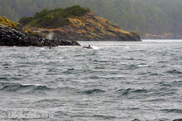 Wale vor Vancouver Island (Orcas)