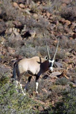Oryx Antilope Karoo Nationalpark