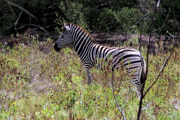 Zebra - (C) www.gindeslebens.com