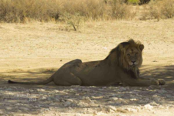... aufgewachter Löwe