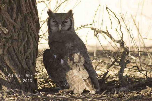 Verreaux's Eagle-Owl / Milchuhu