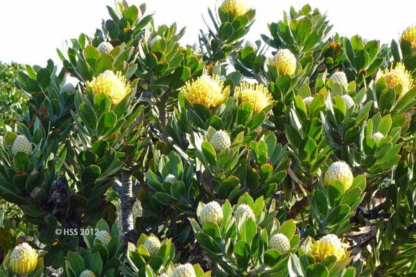 Protea auf der Kaphalbinsel