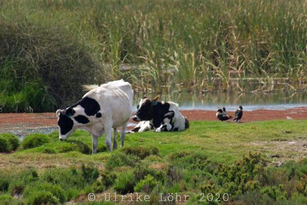 Kühe, schwarzbunt
