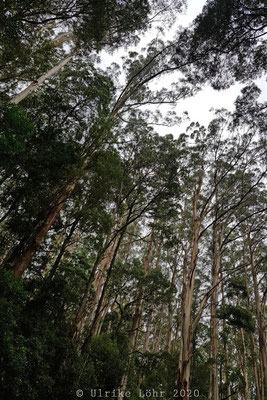 Otway National Forest